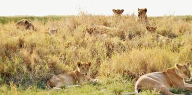 lions lie in the grass