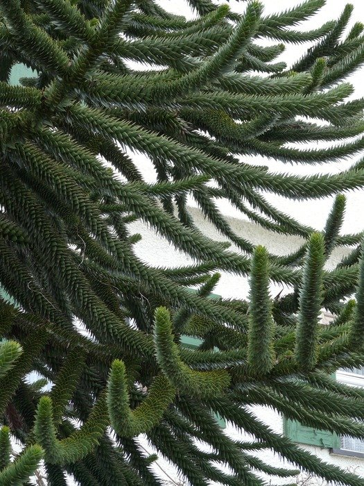 Branches of exotic araucaria