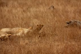 wild lions family in Africa