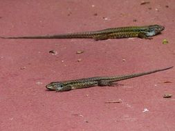 cute canarian lizards