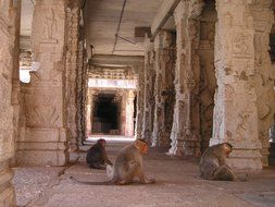 apes sits on floor in ruined ancient temple, india
