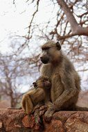 monkey with cub in natural environment