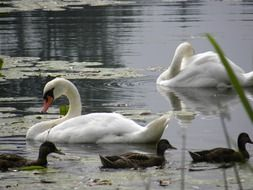 a family of ducks and a family of swans swim in a pond