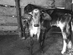 two calves in corral