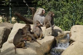 baboons family in zoo