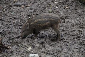 young boar pig in the mud