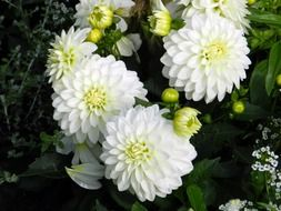 white dahlias in garden
