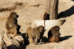 baboons on a sand