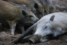 wild boars little pig bache family
