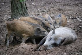 wild boars family bache little pig