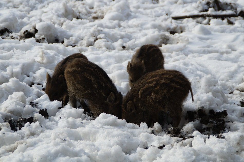 little wild boars on the snow in the winter