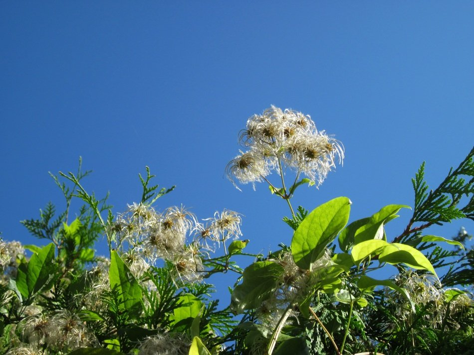 View from below on Clematis vitalba on a background of bright blue sky