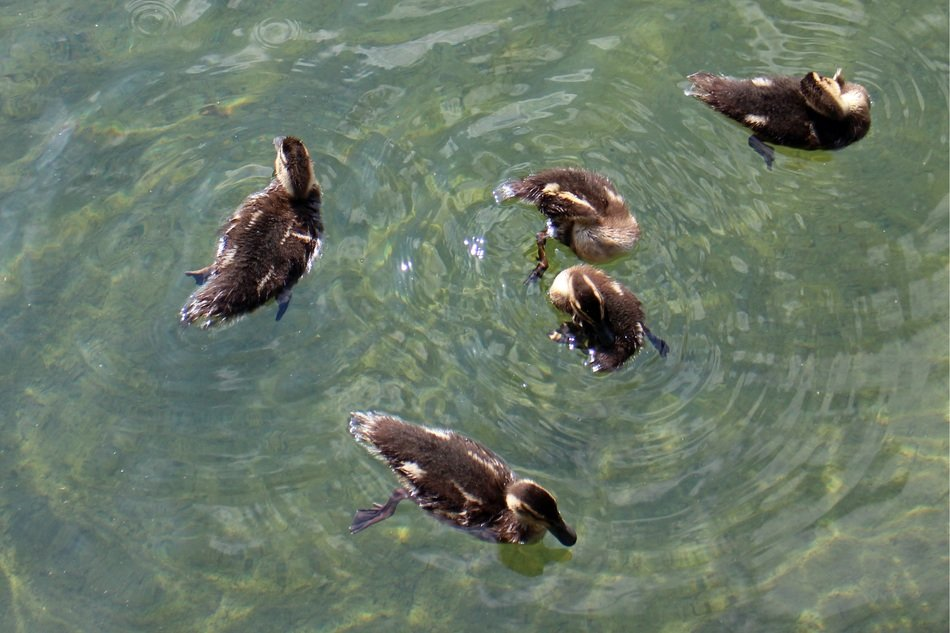 Top view of the family of ducks in the water