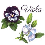 Viola Watercolor floral background set of two flowers