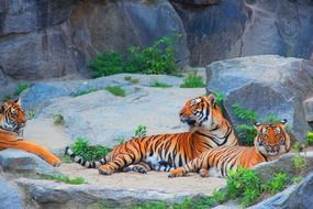 tigers' family in the zoo