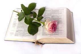 pink rose on the bible