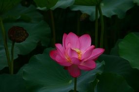lotus flowers pond