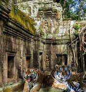 tigers on the background of the temple