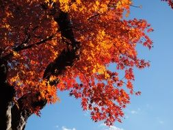 yellow and red leaves on a maple tree