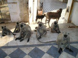 monkeys are holy animals in a temple in India