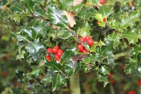 red berries on a green bush periwinkle