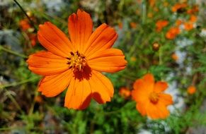 cosmos flower orange color garden autumn