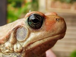 closeup of an african red toad