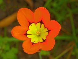 orange bud of spraxia
