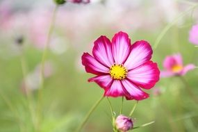 summer cosmos flower