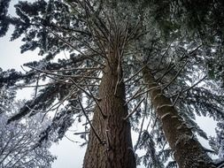 huge spruce with green leaves