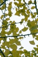 ginko branches