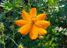 golden cosmos flower