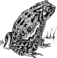 illustration of the toad