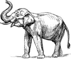 elephant mammal drawing