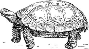 tortoise turtle animal drawing