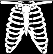 ribs of skeleton anatomy