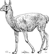 llama as a illustration