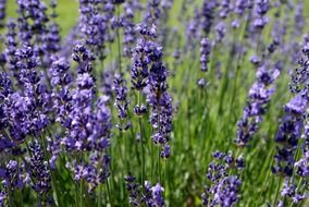 purple lavender flowers on the field