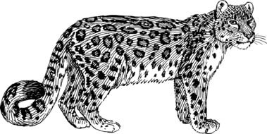 drawn black and white leopard on a white background