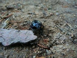 Earth-boring dung beetle on the ground