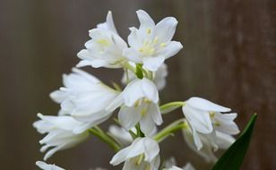 White wood hyacinth flowers