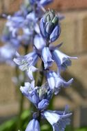 bluebell cultivated flower