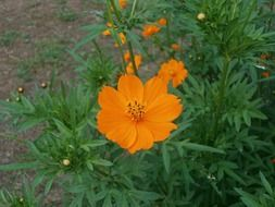 bush of cosmos sulphureus