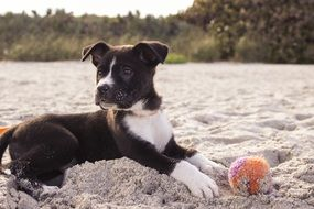 puppy with ball on the beach