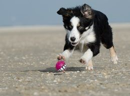 little border collie playing with a ball
