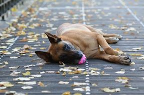 malinois dog with pink ball