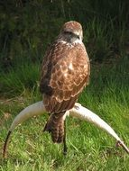 buzzard sitting on a branch