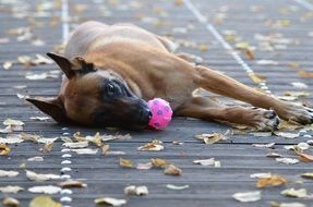 dog lies with a pink ball in his mouth