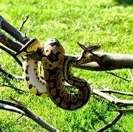 Python on a branch against a background of green grass