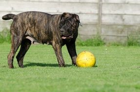 canario Great Dane with a ball